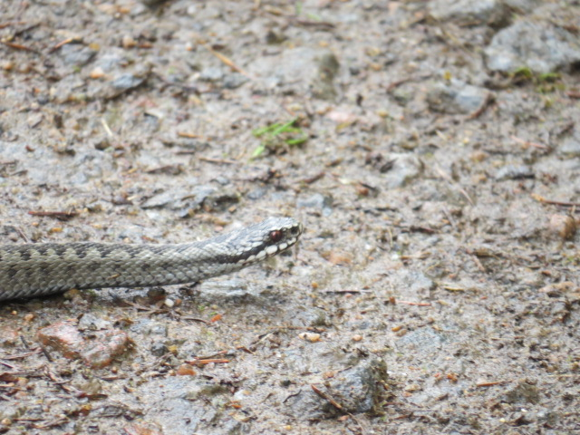 European Adder/Viper near camp