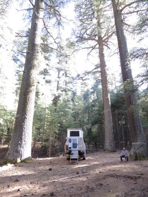 Huge Cedar Trees