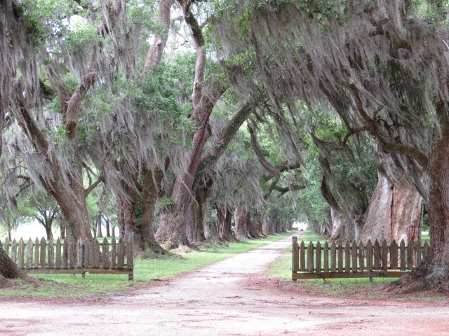 Live Oaks draped with Spanish Moss