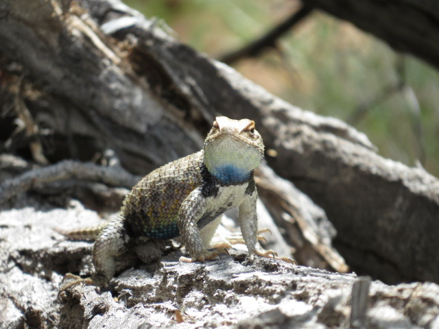 A great little lizard enroute