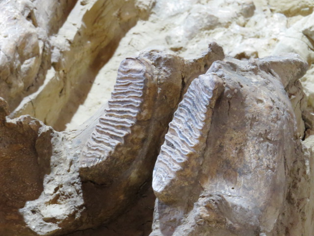 Mammoth Molars