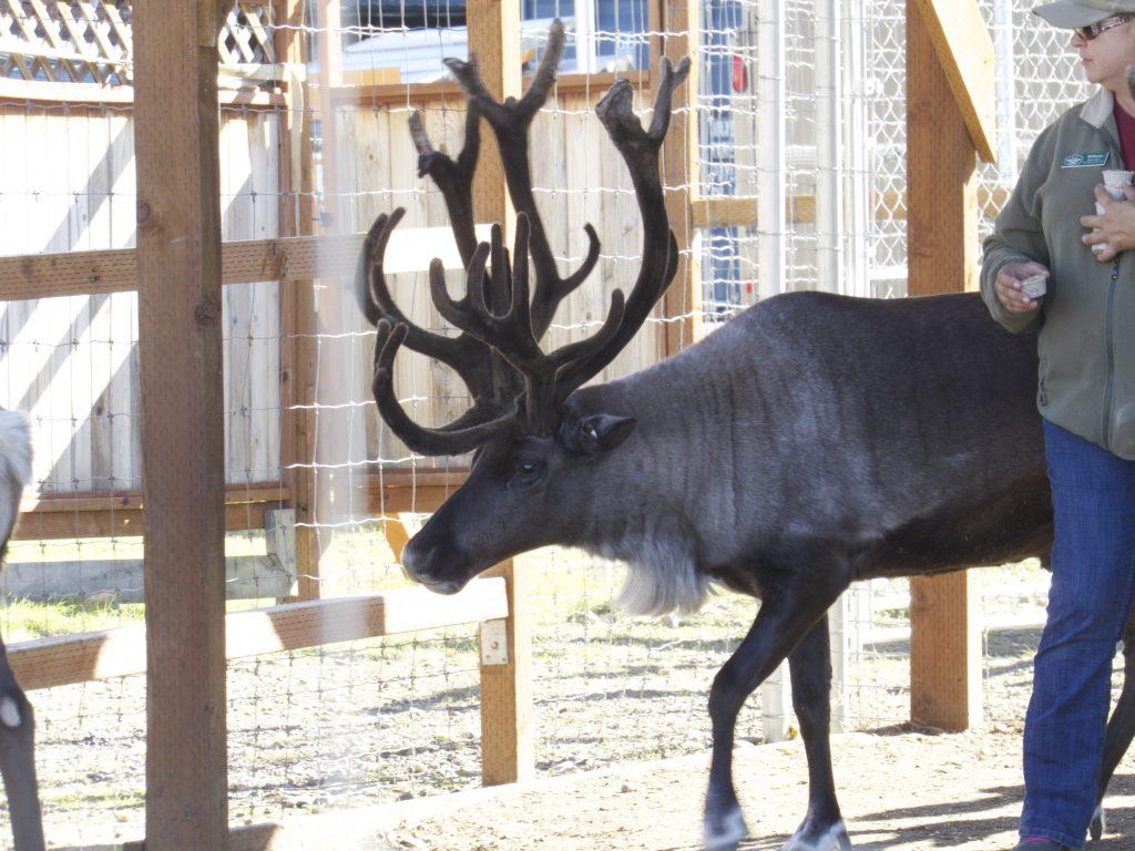 Real Live Reindeer!!!