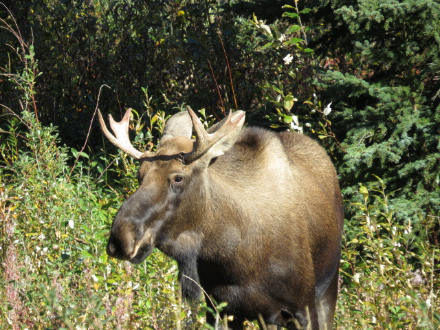 Moose!!!