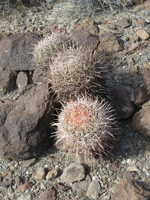 Beautiful California Barrel Cactus