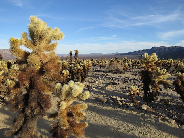 Also known as Teddy Bear Cactus because they look so cuddly from a distance!
