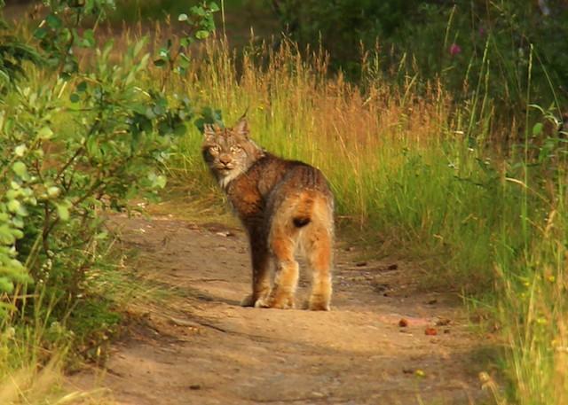 Yukon Bobcat