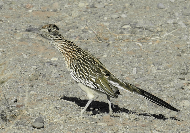 A real Road Runner!!