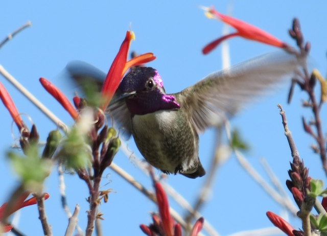 Hummingbirds at Santa Ines
