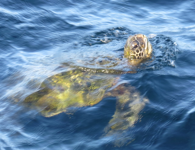More sea turtles