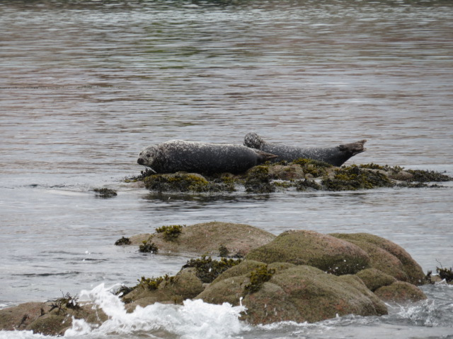 Seals Enroute to Staffa Island