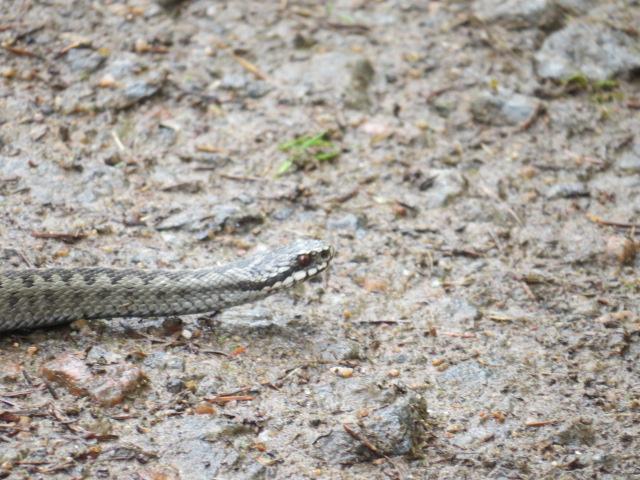 European Adder/Viper near camp