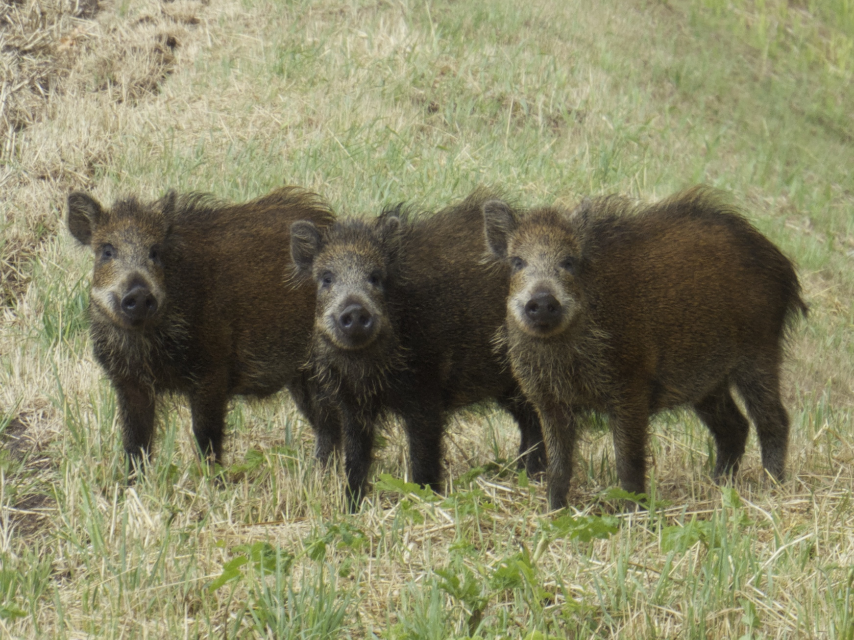 We also saw the three little wild pigs!