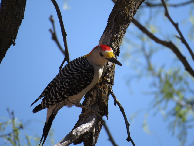 Woodpecker in Palo Duro
