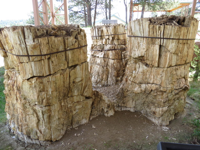 Fossilised Redwoods preserved by volcanic ash - Florissant Fossil Beds National Monument Colorado