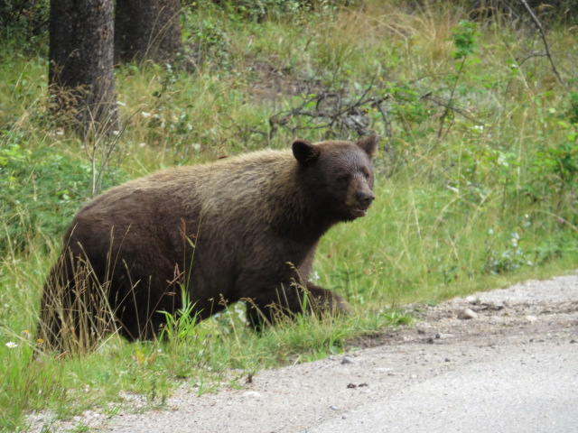 Black Bears can be brown in colour
