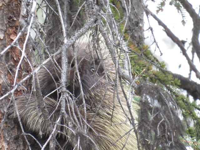 I can see you!!! Porcupine 2 mtrs up a tree!