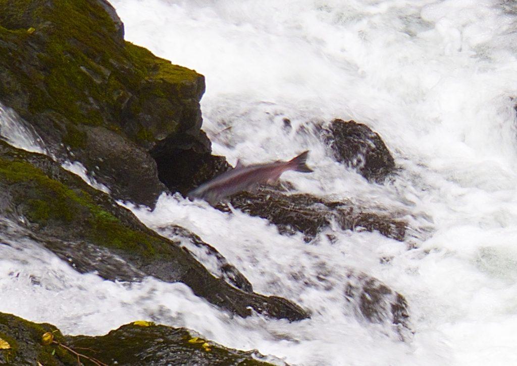 Airborne Salmon