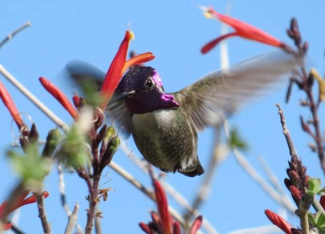 Hummingbirds at Santa Ines