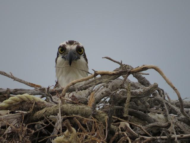 An Osprey keeping close watch