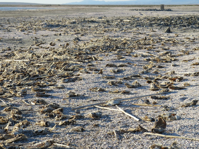 The casualties of Salton Sea's toxicity - dead fish